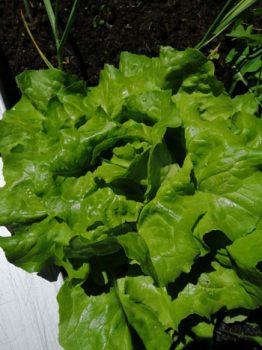 Ein Kundenfoto von Salat mit Terra Preta Schwarzerde von Witch House