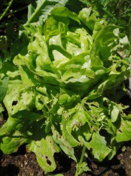 Ein Kundenfoto von Salat ohne Terra Preta Schwarzerde von Witch House